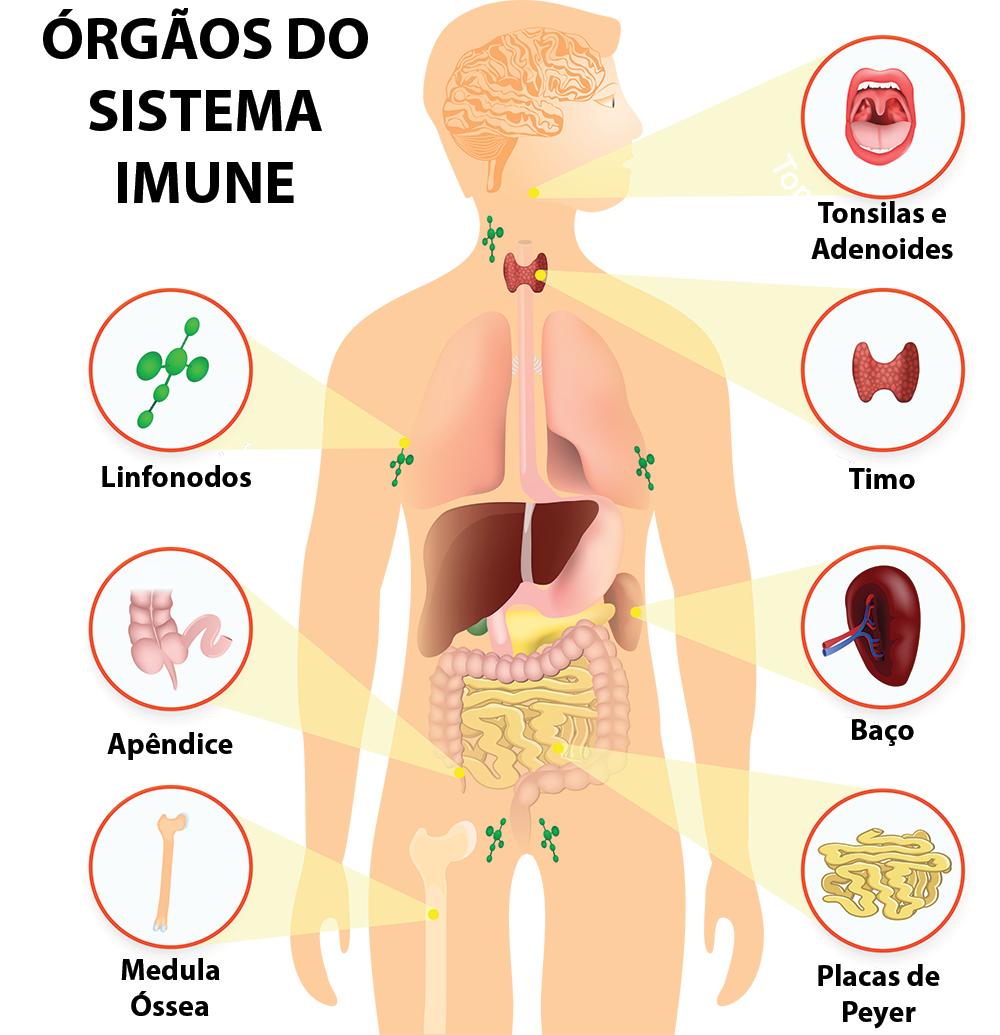 orgãos do sistema imunologico e função