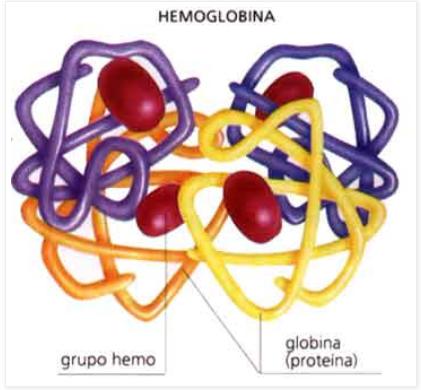 tudo sobre o sangue - hemoglobina