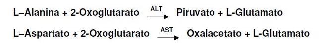 Ação das enzimas transaminases - enzimas hepáticas