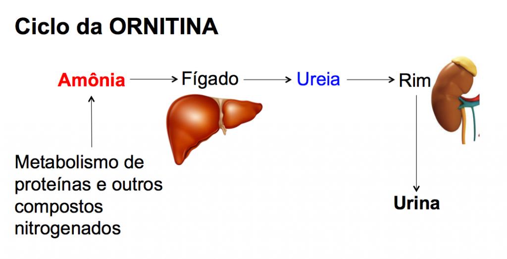 ciclo da ornitina - enzimas hepáticas