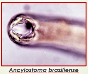 agente causador bicho geográfico no pe larva migrans cutanea ancylostoma braziliense