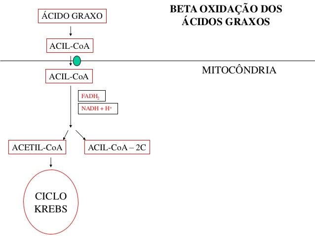 beta oxidação de ácidos graxos ciclo de krebs