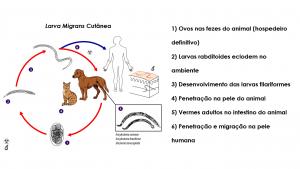 ciclo bicho geográfico larva migrans cutanea ancylostoma braziliense