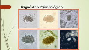 diagnostico ancilostomose ancilostomiase amarelao ancylostoma necator necatoriase