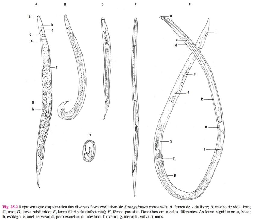 estrongiloidiase intestinal sintomas ciclo tratamento transmissão morfologia