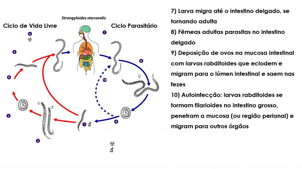 estrongiloidiase intestinal sintomas tratamento transmissão morfologia ciclo parasitário