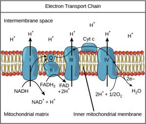 cadeia de transporte de elétrons ciclo de krebs resumido