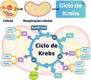 ciclo de krebs resumido ácido cítrico
