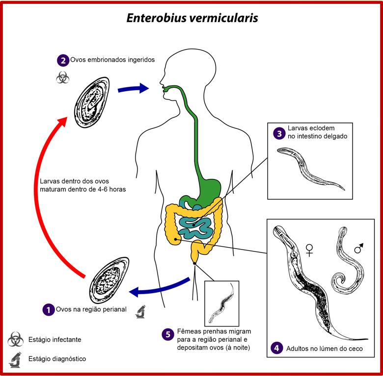 ciclo enterobius vermicularis enterobíase oxiurus