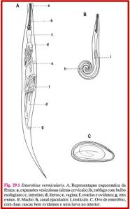 morfologia verme enterobius vermicularis enterobíase oxiurus
