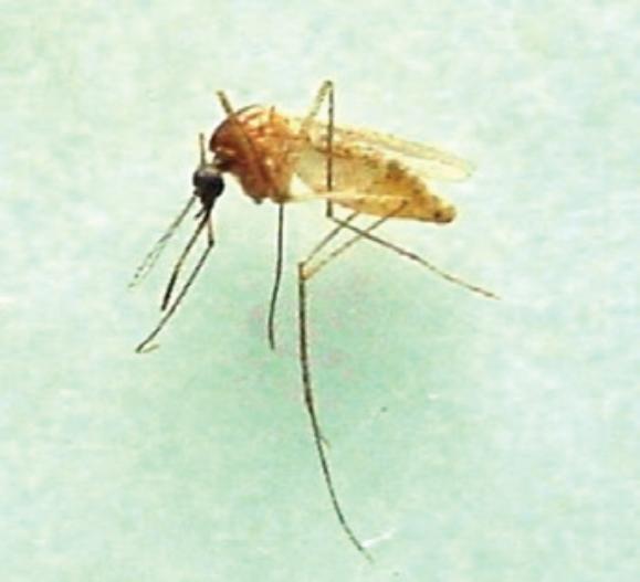 FILARIOSE ELEFANTÍASE sintomas mosquito Culex quinquefasciatus Wuchereria Bancrofti filariose linfática
