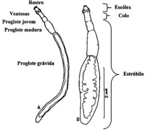 Hidatidose humana equinococose parasitologia Echinococcus oligarthrus hiatidose policistica Echinococcus granulosus