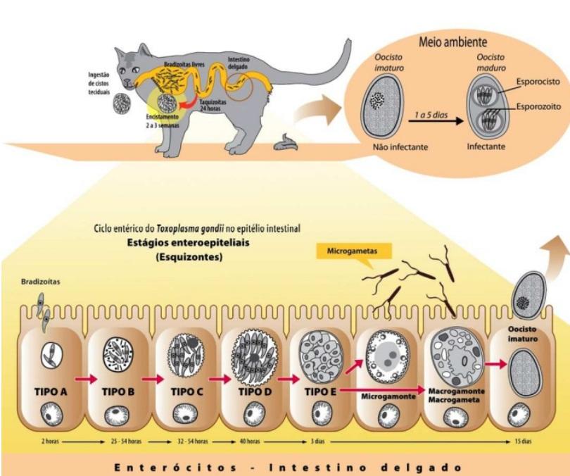 biológico do Toxoplasma gondii – hospedeiros definitivos toxoplasmose