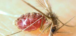 calazar-leishmaniose viceral kalazar mosquito palha