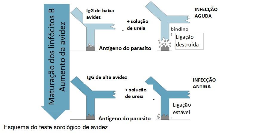 esquema do teste sorologico de avidez toxoplasmose diagnostico