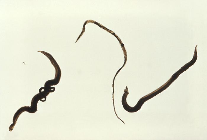 Esquistossomose parasita Schistosoma mansoni