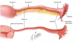 Porções da tuba uterina sistema reprodutor feminino orgão reprodutor feminino