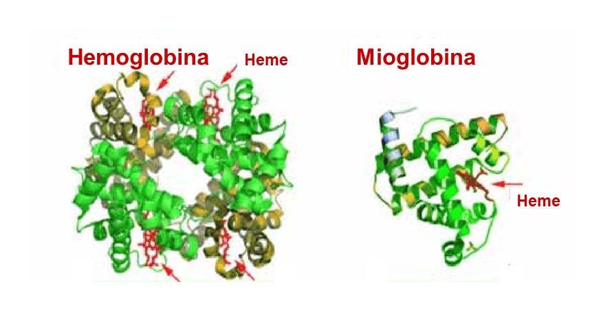 Mioglobina hemoglobina transporte de oxigenio diferenças estrutura hemoglobina e mioglobina