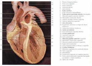 anatomia cardíaca anatomia do coração humano anatomia de coração coração anatomia anatomia coração