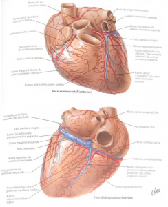 arterias coronarias veias cardiacas anatomia cardíaca anatomia do coração anatomia de coração coração anatomia anatomia coração