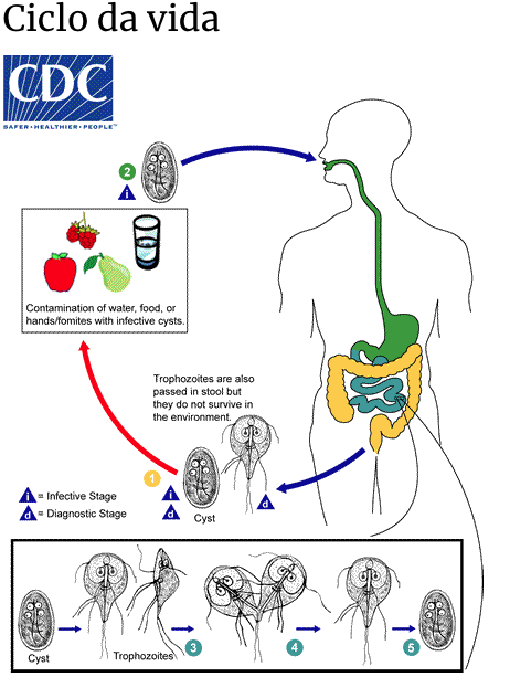 ciclo da vida giardiaremedio para giardia cistos de giardia lamblia trofozoito giardia cisto giardia contaminacão alimentos giardia