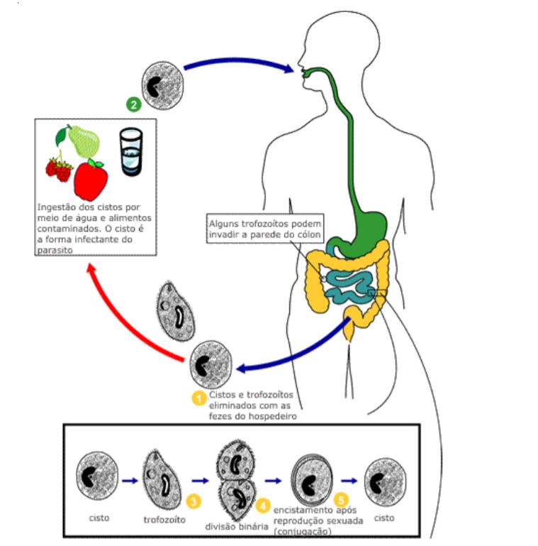 ciclo de vida do Balantidium coli cistos por meio de água contaminação por alimento