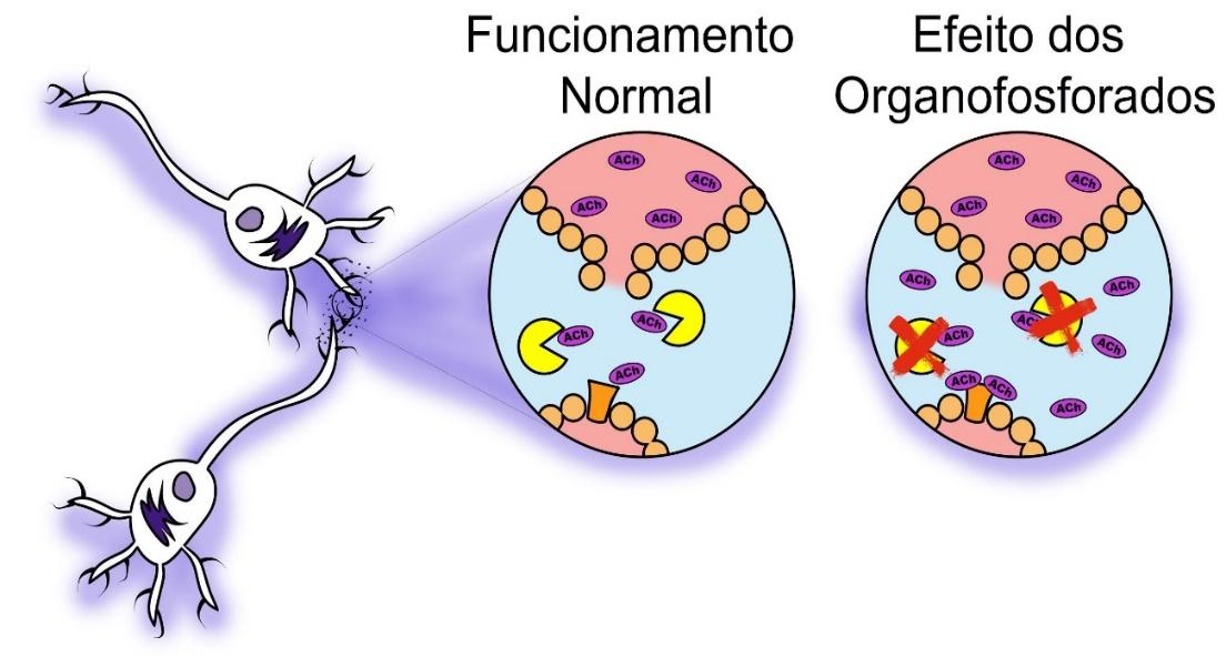 colinesterase organofosforado colinesterase