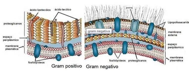 diferenças entre as bactérias Gram positivo e Gram negativo microbiologia