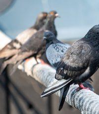 doença do pombo Criptococose fezes