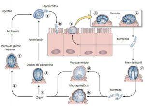 imunologia Cryptosporidiu sp criptosporidíase cryptosporidium tratamento esporozoitos