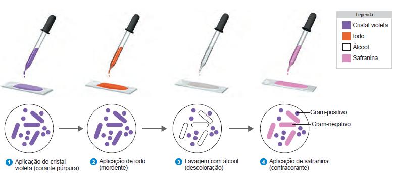 passo a passo da técnica de Coloração de Gram bacteria gram positvo gram negativo