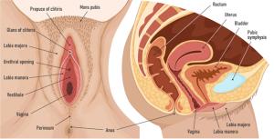 Figura 1: Anatomia da vulva e visão sagital da pelve feminina (Fonte - Shutterstock)