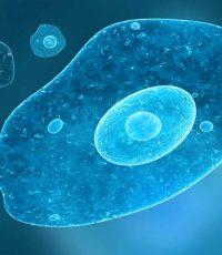 entamoeba histolytica histolytica cyst ameba cisto amebíase intestinal