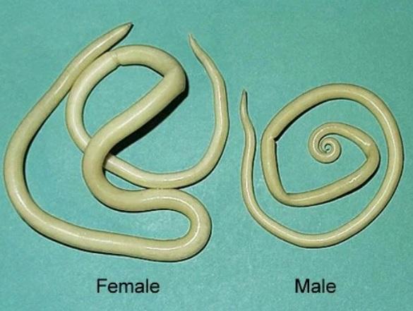 larva ascaris lumbricoides lombriga intestino ascaridíase