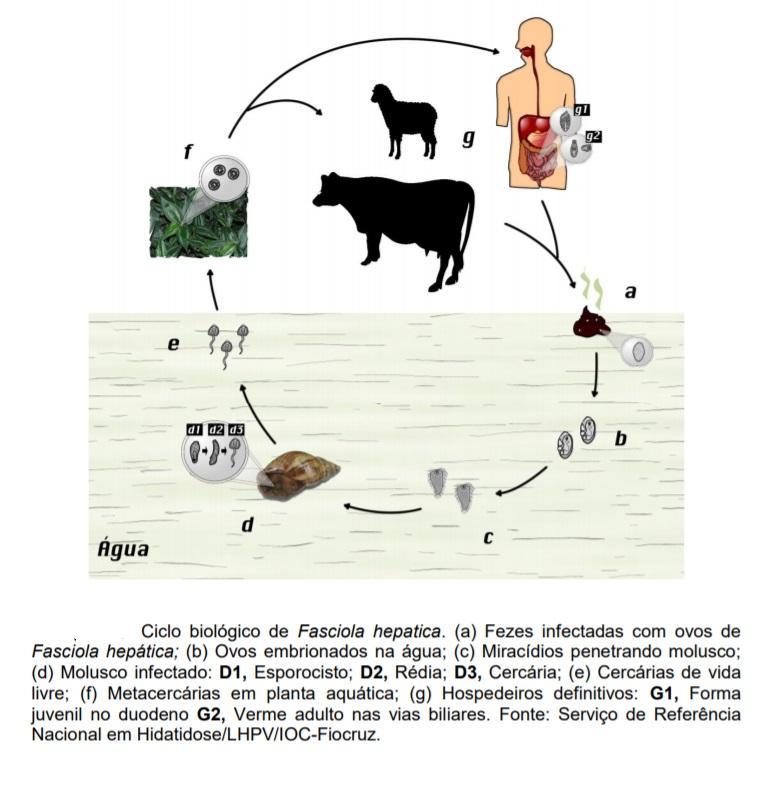 ciclo biologico da fasciola hpeatica fasciola humana