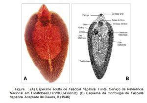 especie adulta de fasciola hepatica morfologia da fasciola hepatica