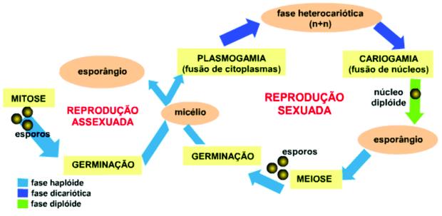 reprodução assexuada e sexuada fungos reproducao fungos fulamentosos brotamento fragmentacao do micelio esporulacao