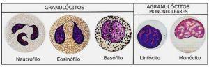 Leucócitos glóbulos brancos granulócitos agranulocitos