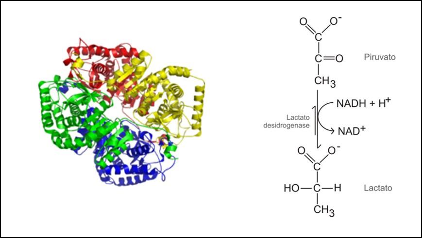 O que é desidrogenase láctica (lactato desidrogenase - LDH) molécula LDH-5 NADH estrutura quimica