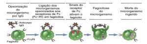 Opsonização complexo agác microorganismos opsonizados imunologia microodanismo por igG fagocitose