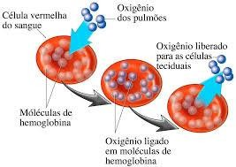 hemácias células vermelhas do sangue hemoglobina eritrócitos