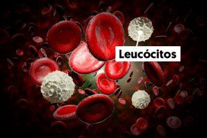 leucocitos globulos brancos hemograma