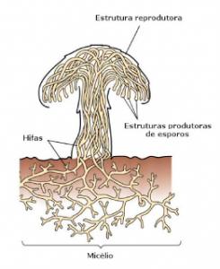 as partes (ou estruturas) dos fungos micelio hifas