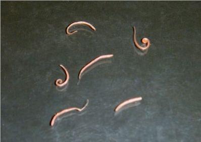 larvas vermes morfologia do Trichuris trichiura